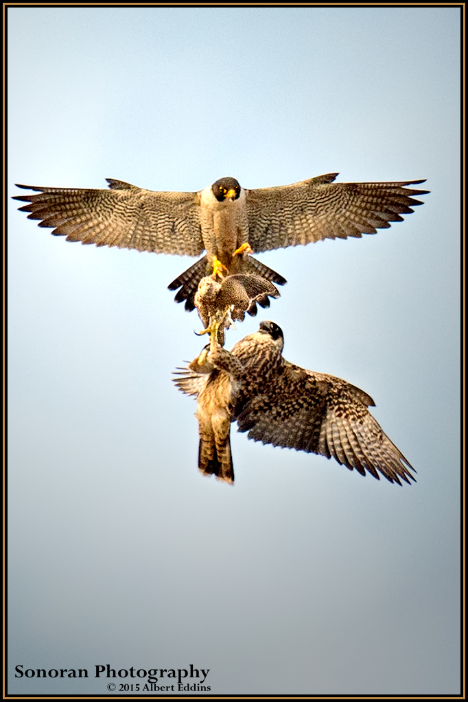 Adult Peregrine Falcon Makes Prey Transfer To A Juvenile