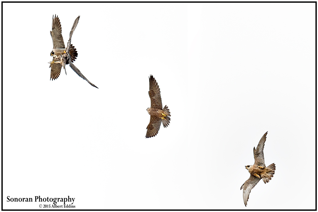 Adult Peregrine Falcons Teaching Aerial Prey Transfer to Fledglings - California