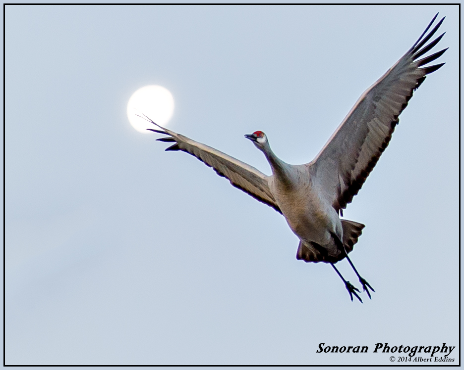 Sandhill Crane with Moon - New Mexico