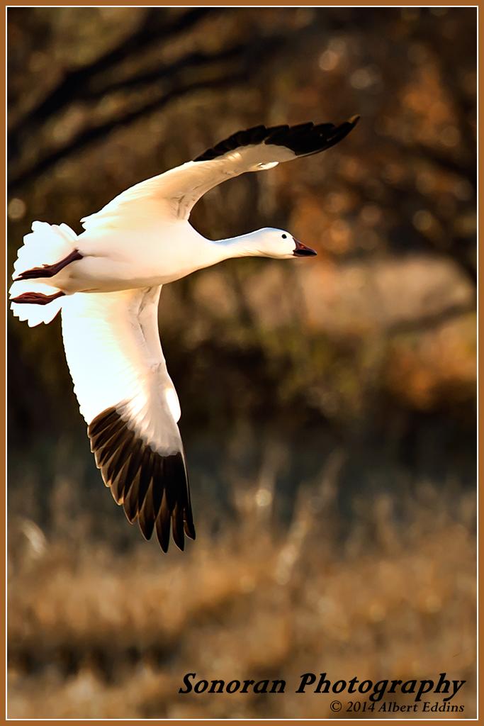 Snow Goose - New Mexico