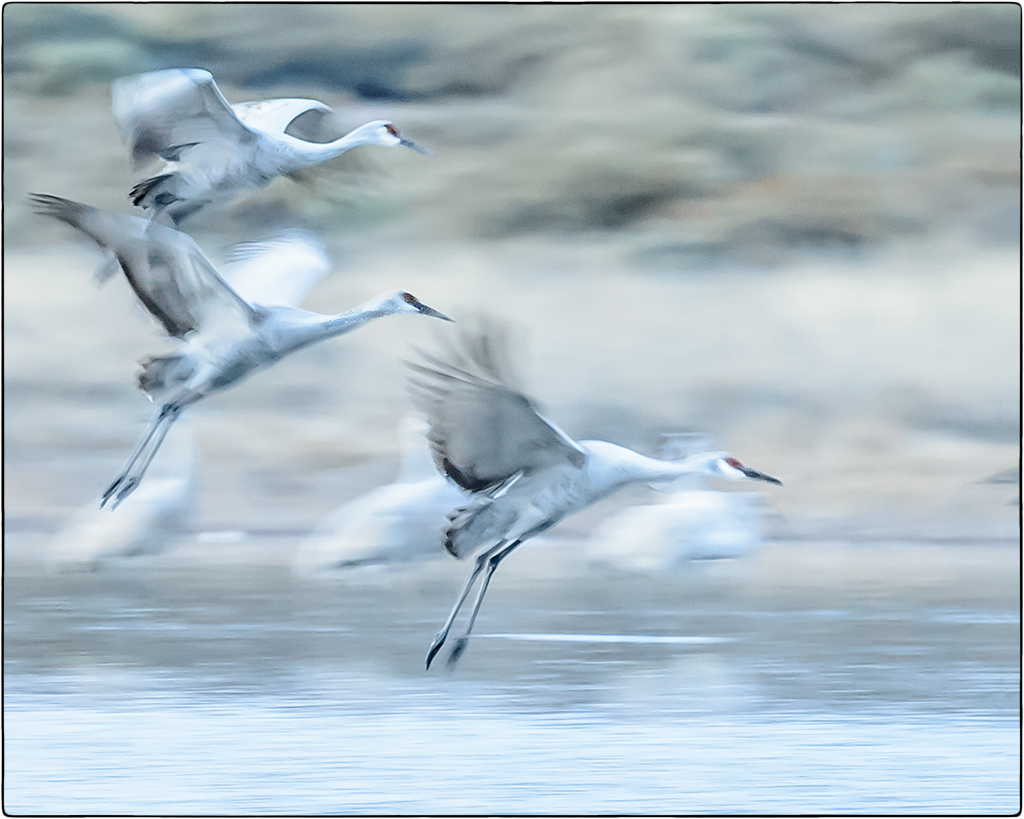 Sandhill Cranes in Motion - New Mexico