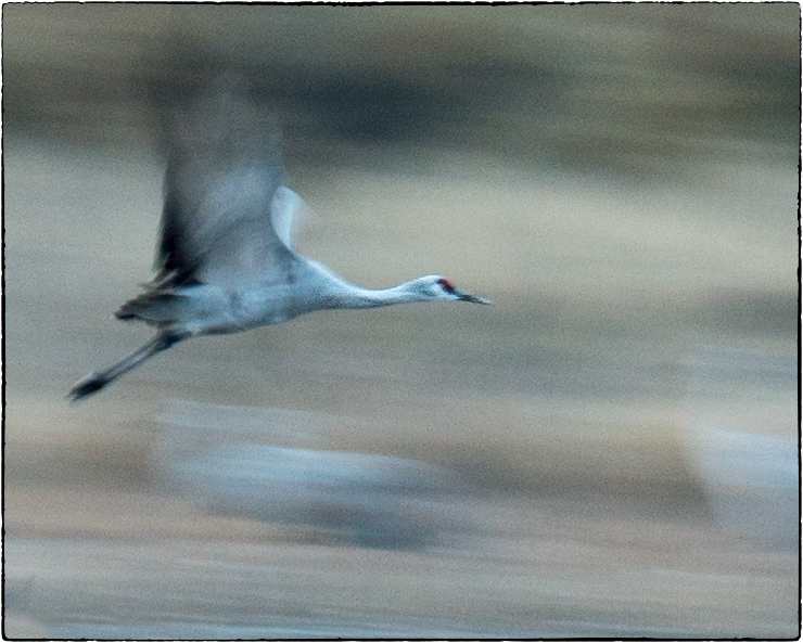 Sandhill Crane Flying with Motion - New Mexico