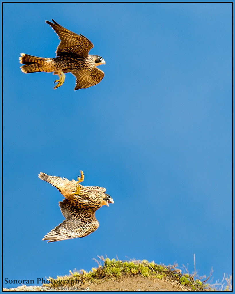 Peregrine Fledglings at Play - Better Watch Were Your Going - California