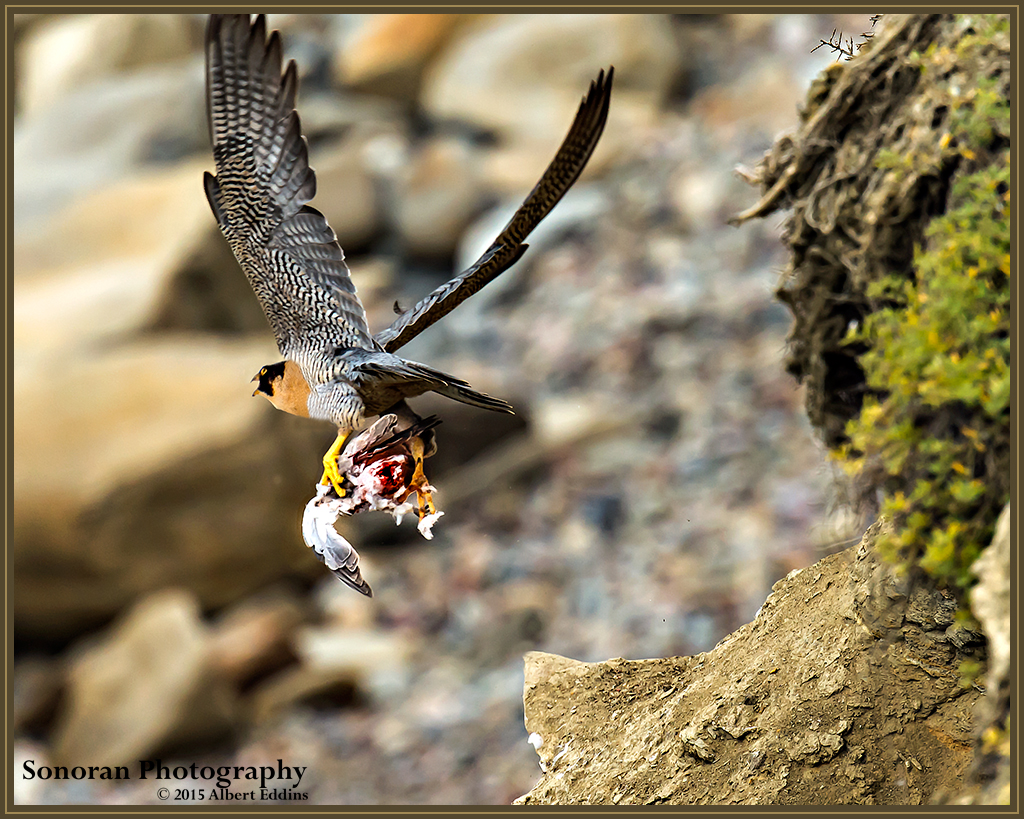 Peregrine Falcon Leaving with Prey - California