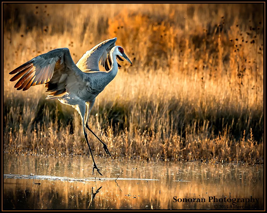 Sandhill Crane Landing - Bosque del Apache, New Mexico