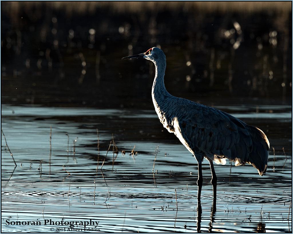 Early Morning Light - Sandhill Crane - Bosque del Apache, New Mexico