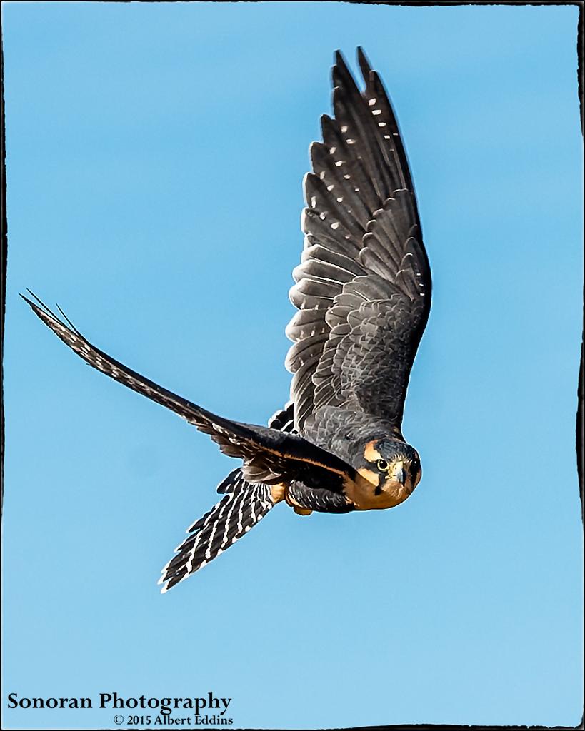 Aplomado Falcon - New Mexico