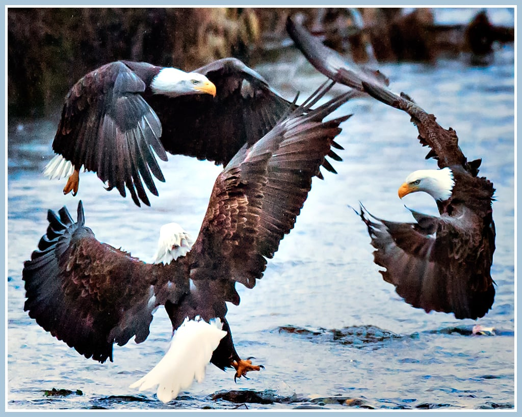Bald Eagle Circle of Friends - Washington