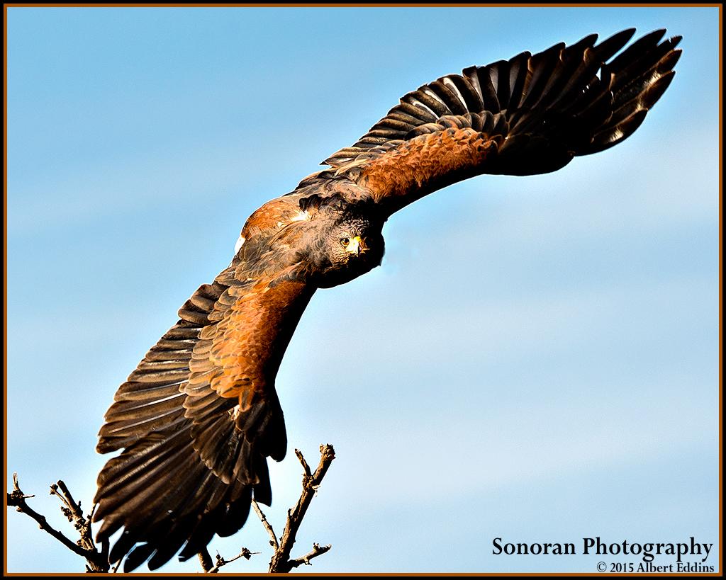 Harris's Hawk - New Mexico