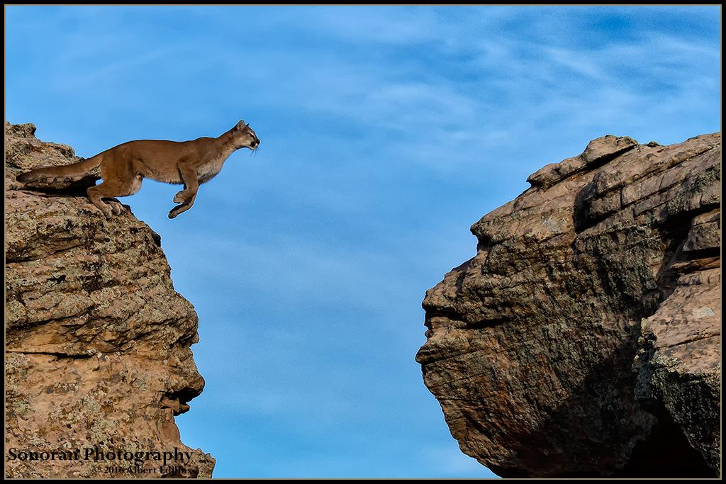 Mountain Lion Jumping Gorge - Sequence No.1 - Colorado