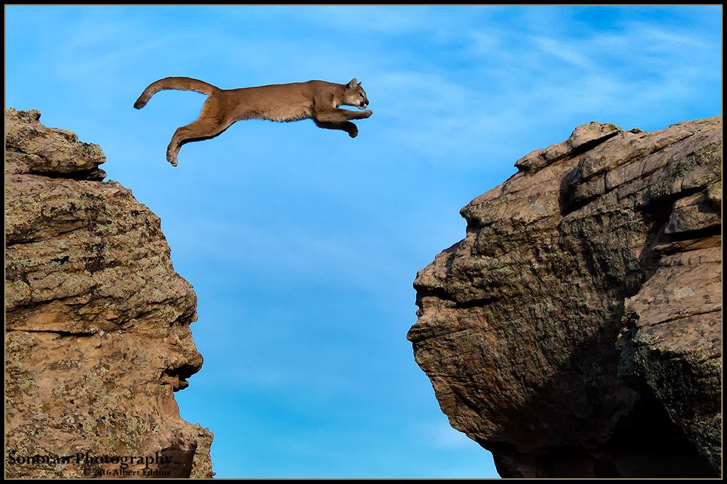 Mountain Lion Jumping Gorge - Sequence No.2 - Colorado