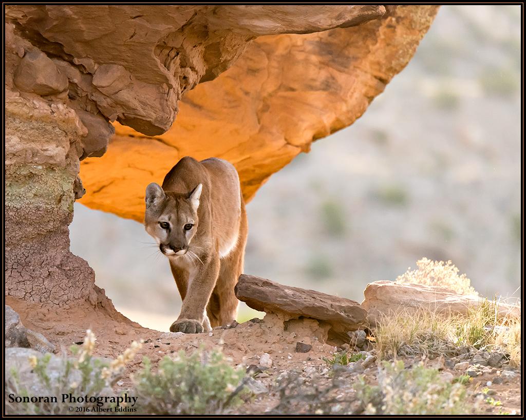 Mountain Lion in Morning Sun - Colorado
