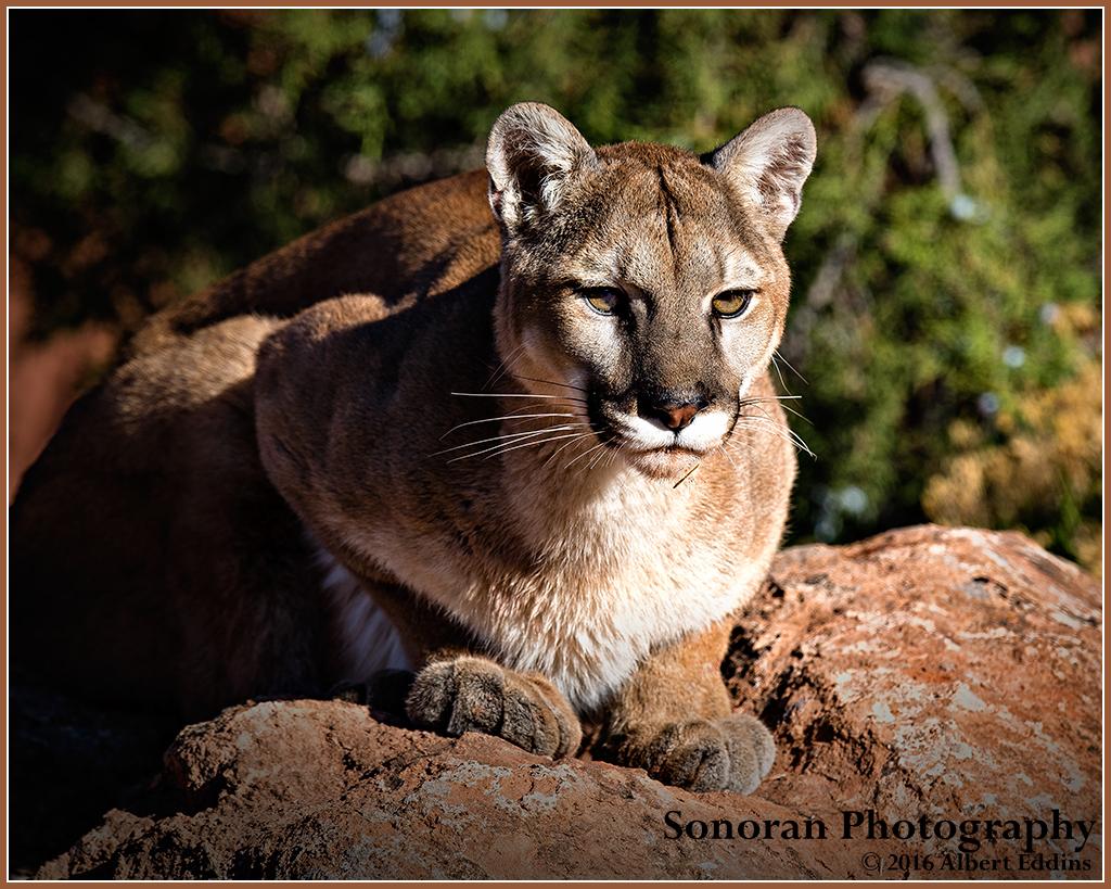 Mountain Lion Lying in Wait - Colorado