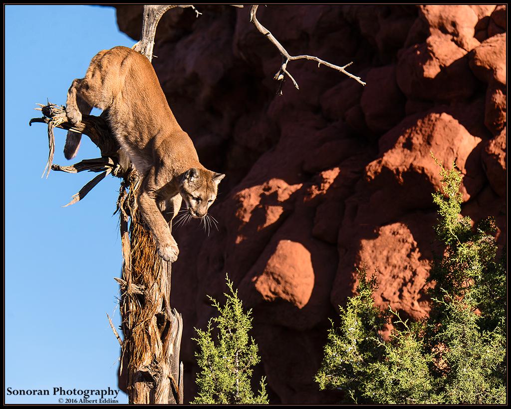 Mountain Lion Treed - Colorado