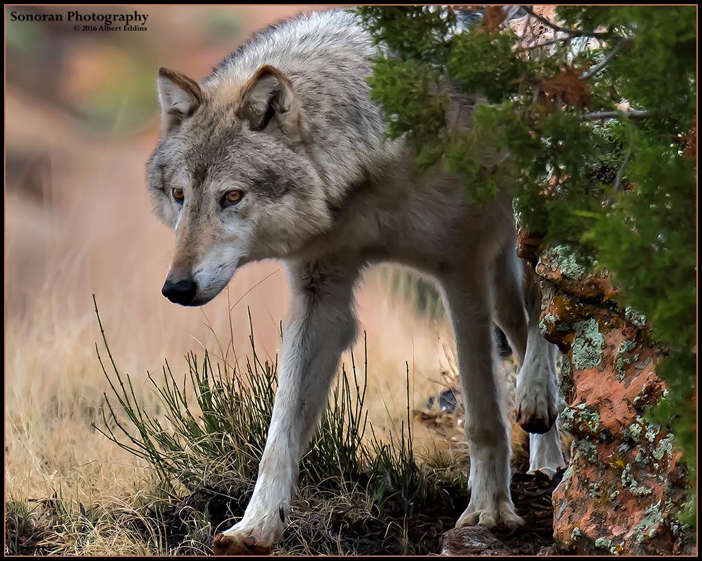 Grey Wolf Scouting - Colorado