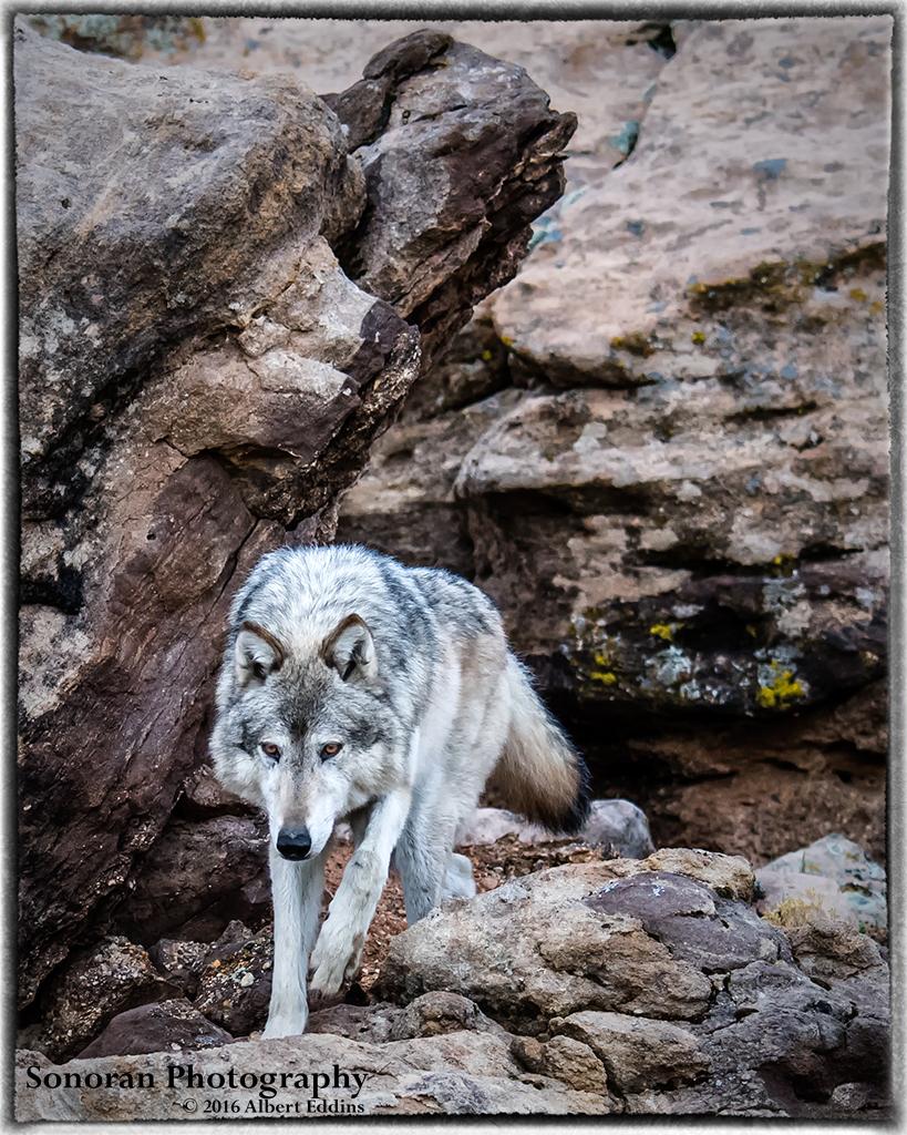 Grey Wolf in the Rocks - Colorado