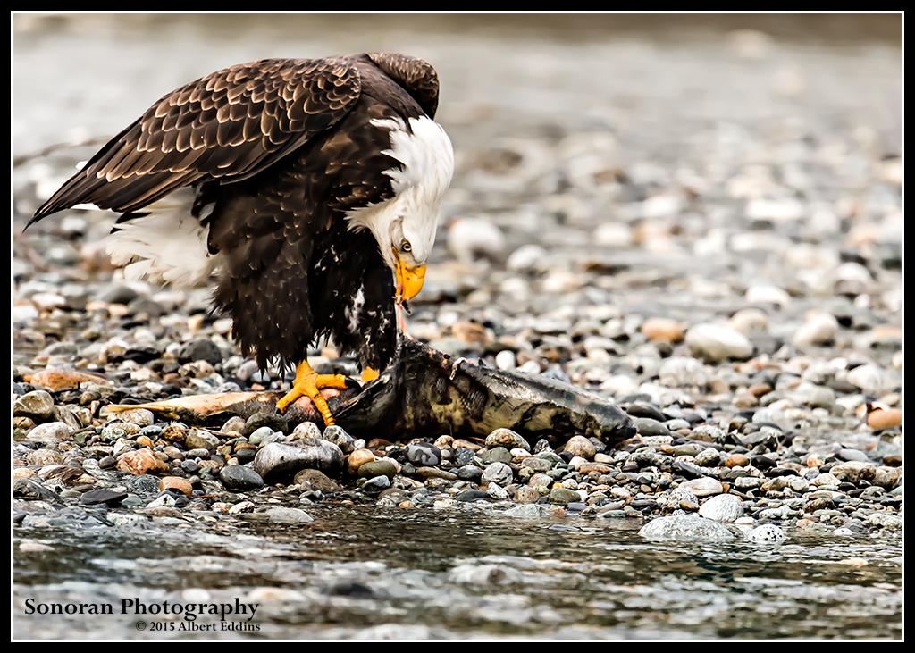 Bald Eagle Daily Special Fresh Salmon - Washington