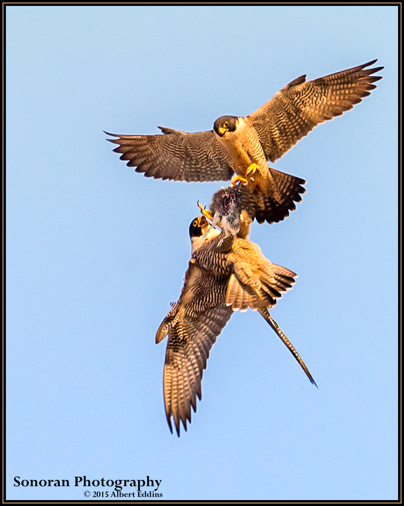 Peregrine Falcon Aerial Prey Transfer - California Coast