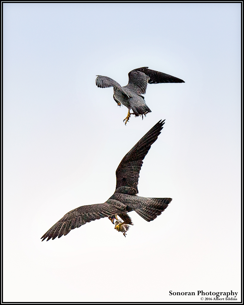 Peregrine Falcon Aerial Exchange Beaking Process - California