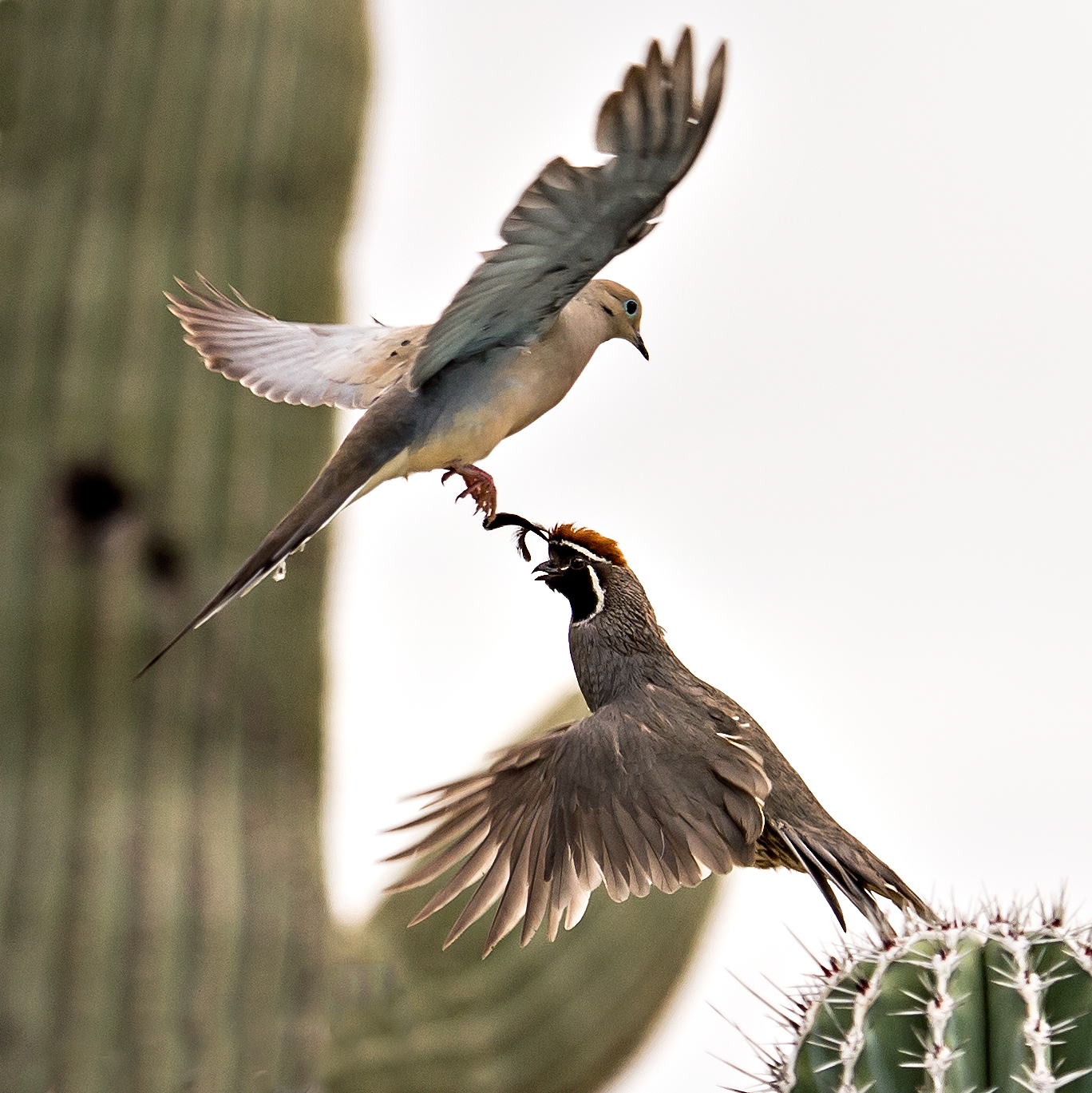 Mourning Dove Meets Gambel's Quail - Arizona