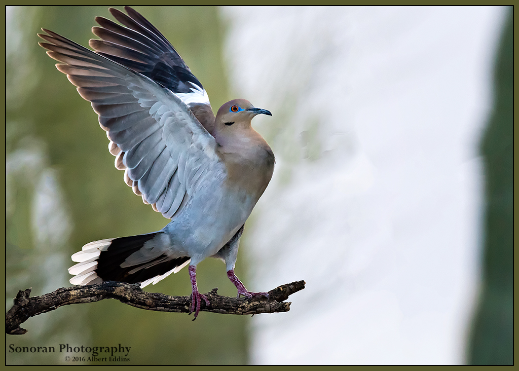 Whitewing Dove - Arizona