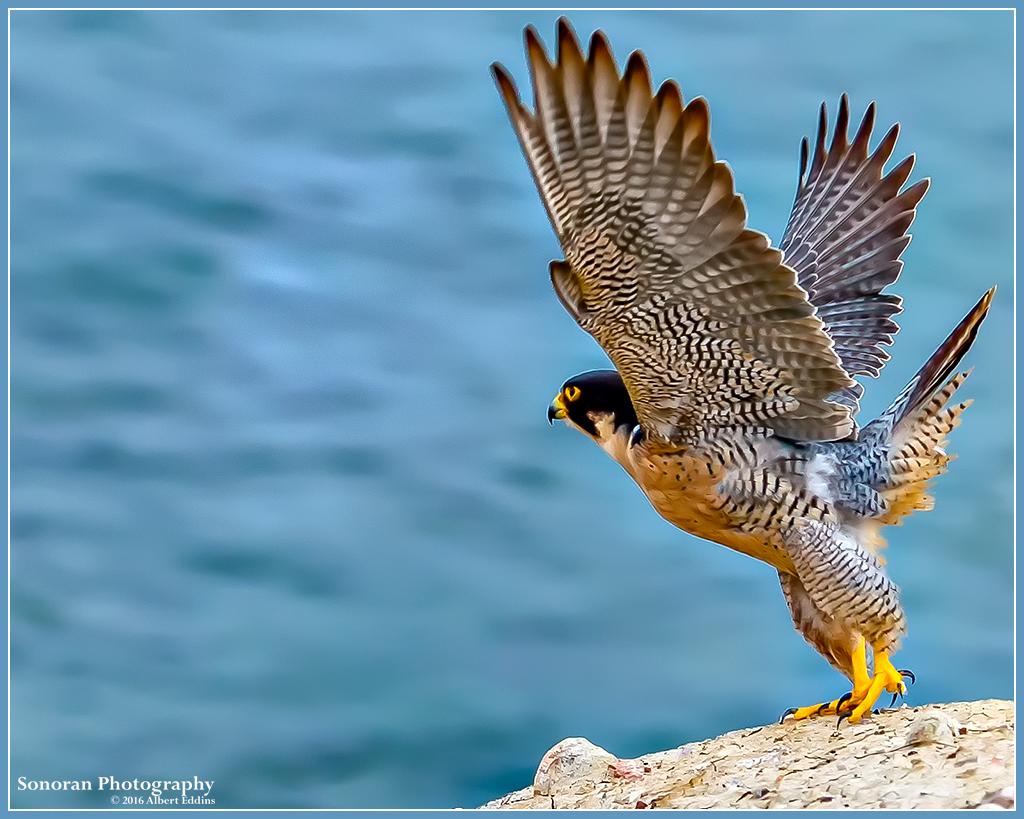 Peregrine-Falcon_Coast-Guard_Web_ASE8734_5-13-16.jpg