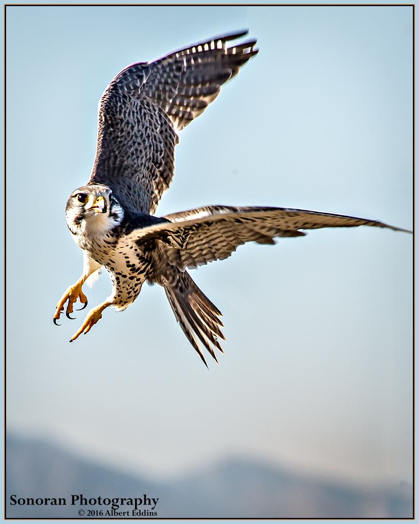 Prairie-Falcon_Web_ASE3796_12-13.jpg