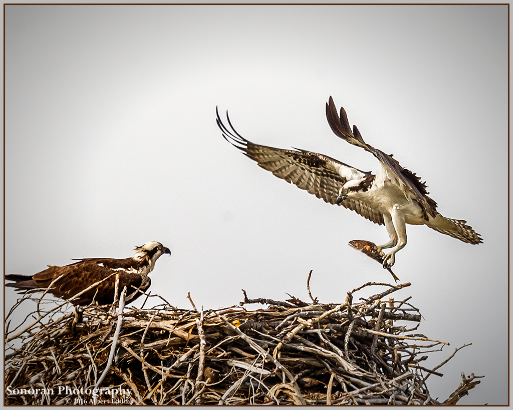 Osprey Home Delivery - Wyoming