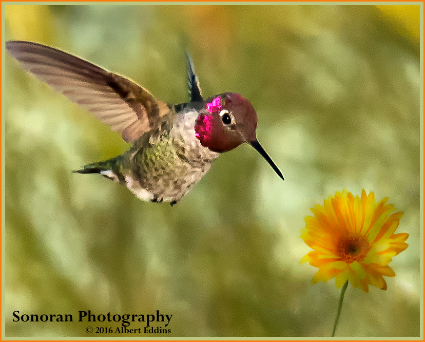 Hummingbird-Yellow-and-Orange_Web_ASE0362.jpg