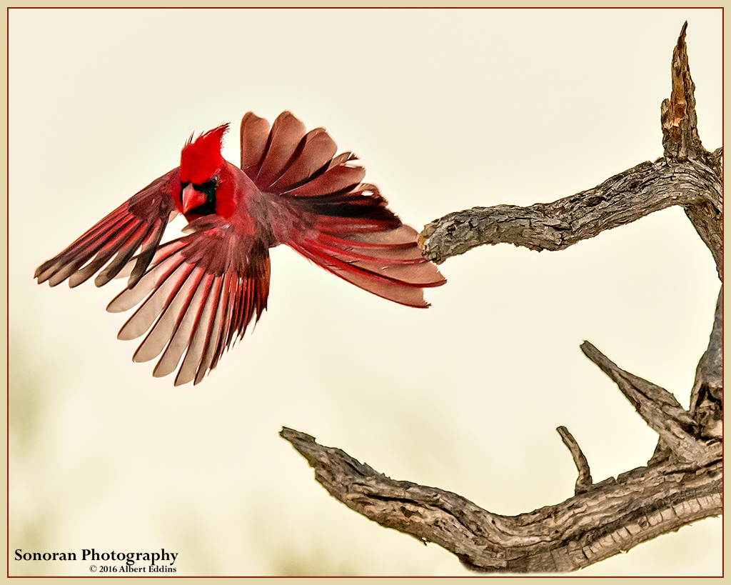 Northern-Red-Cardinal_Web_ASE0388.jpg