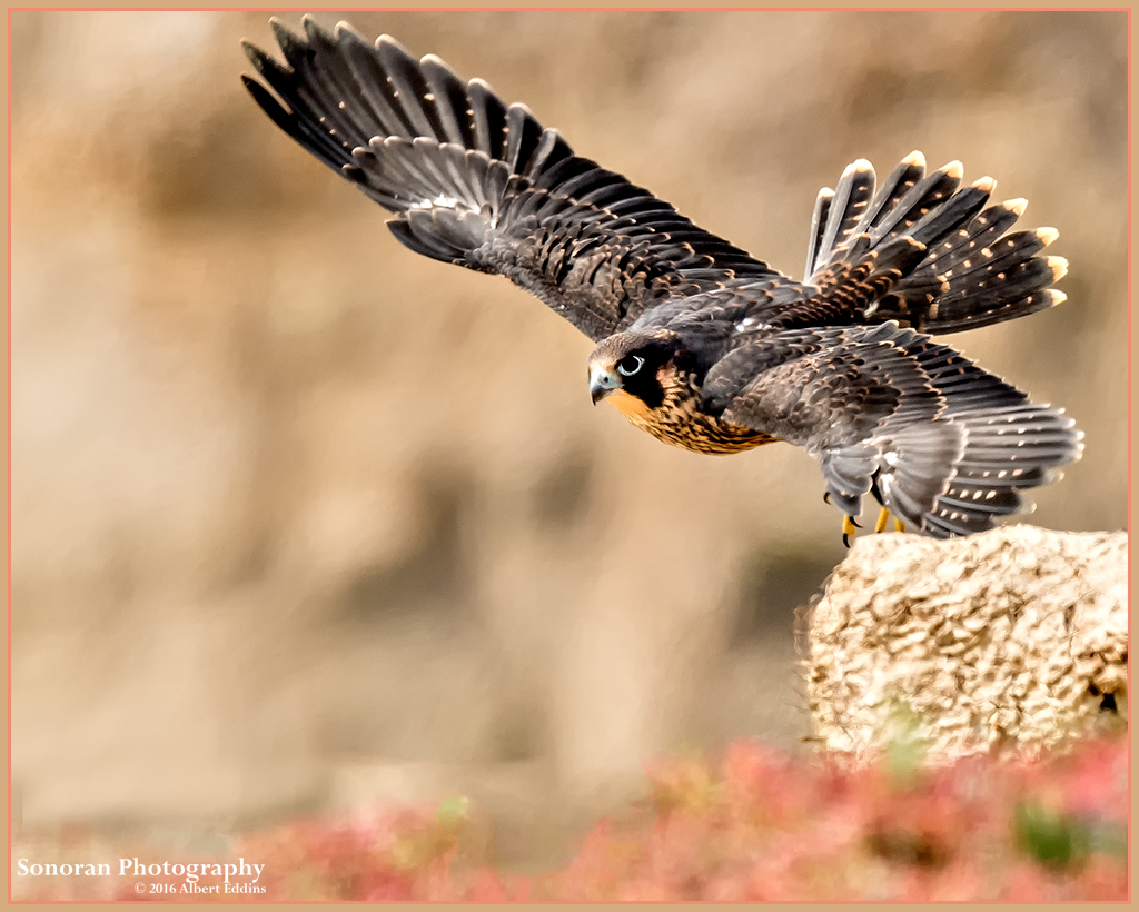 FLY_Fledgling-Peregrine-Falcon_Web_ASE2351.jpg