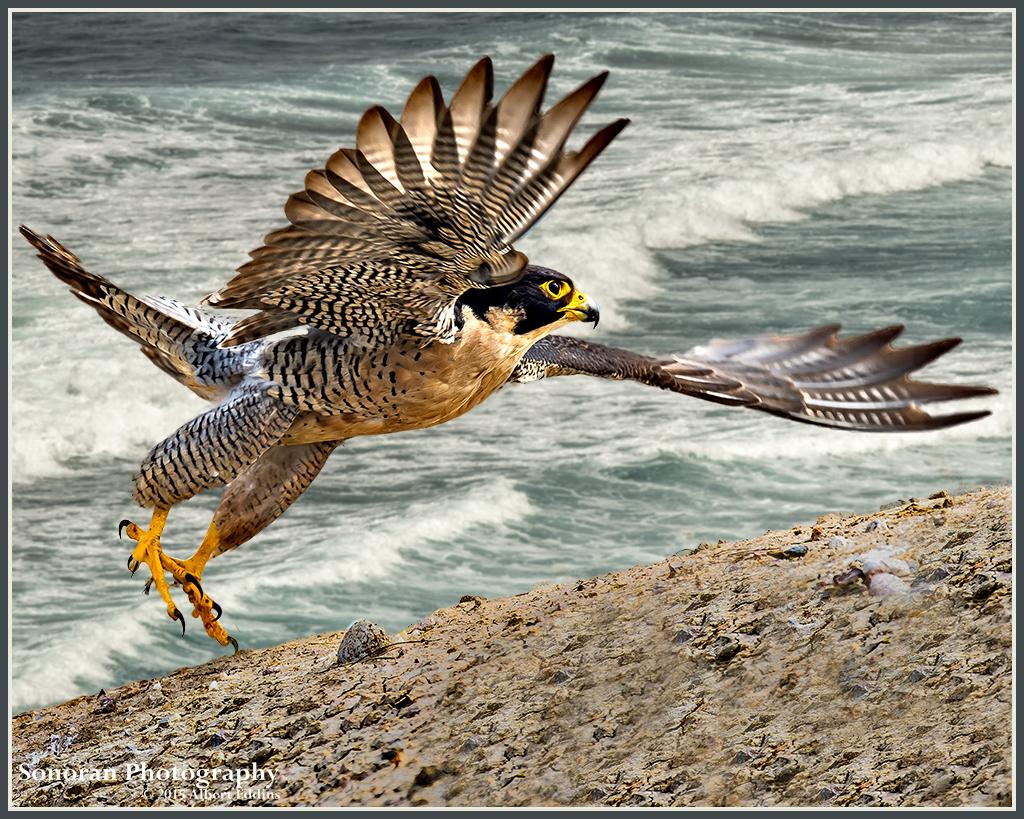 Peregrine-Falcon_ASE5563.jpg