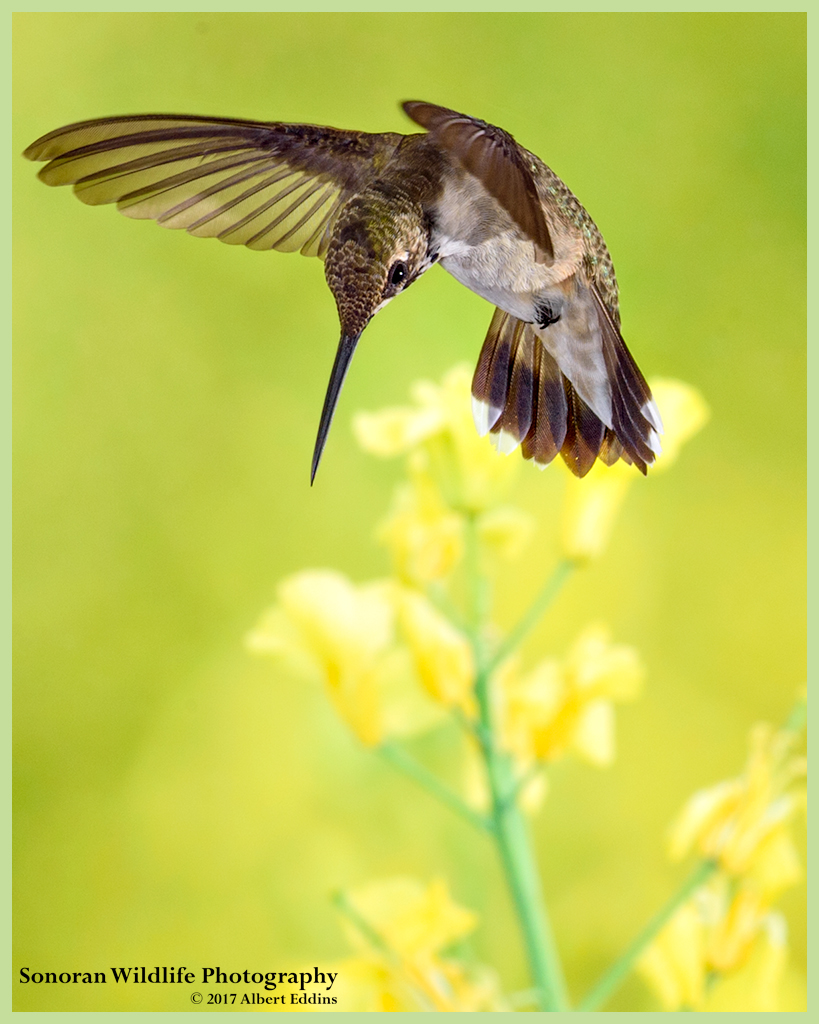 Hummingbird-in-Yellow_Web_ASE3987_8-20-17.jpg