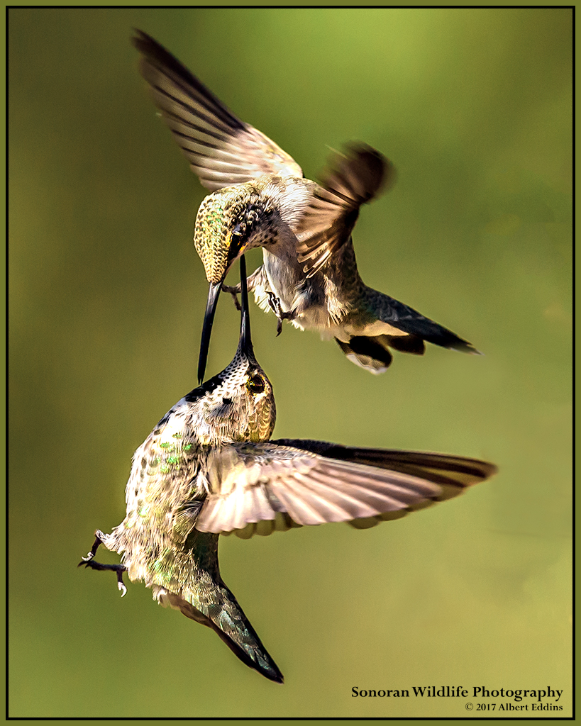 Hummingbird Sword Fight - Arizona