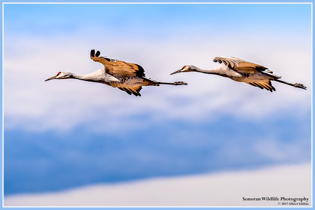 Sandhill-Cranes_Web_ASE5358.jpg