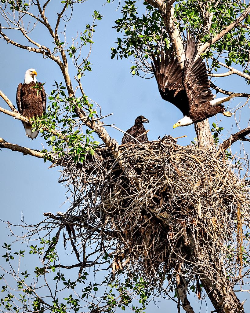 Bald-Eagle-Family-Nest_Web_ASE3261_8-25-18.jpg