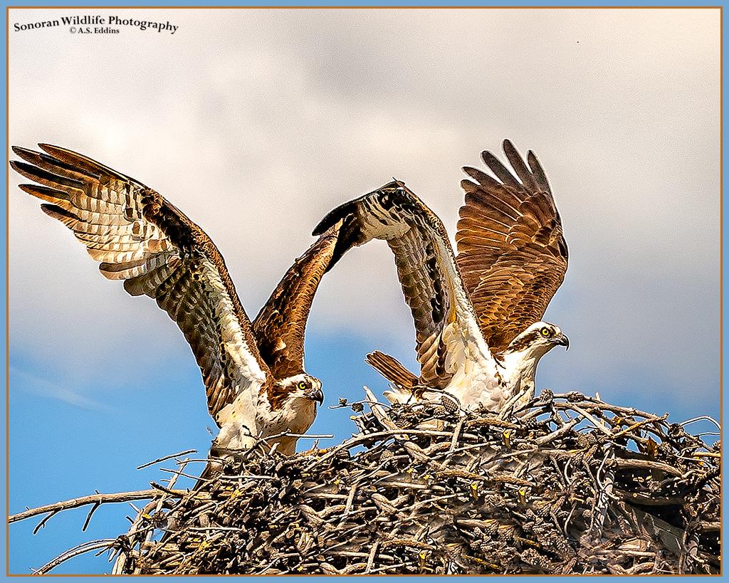 Osprey-Pair_Image-Web-ASE3142.jpg