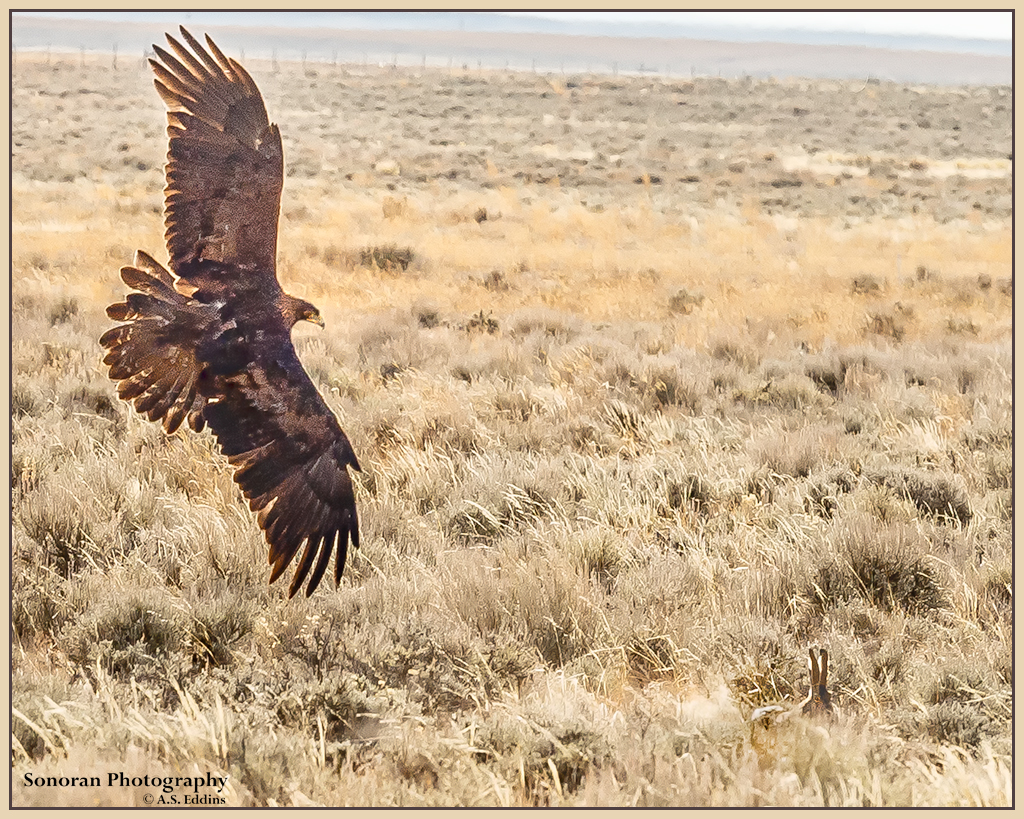 Golden Eagle - There You Are - Wyoming