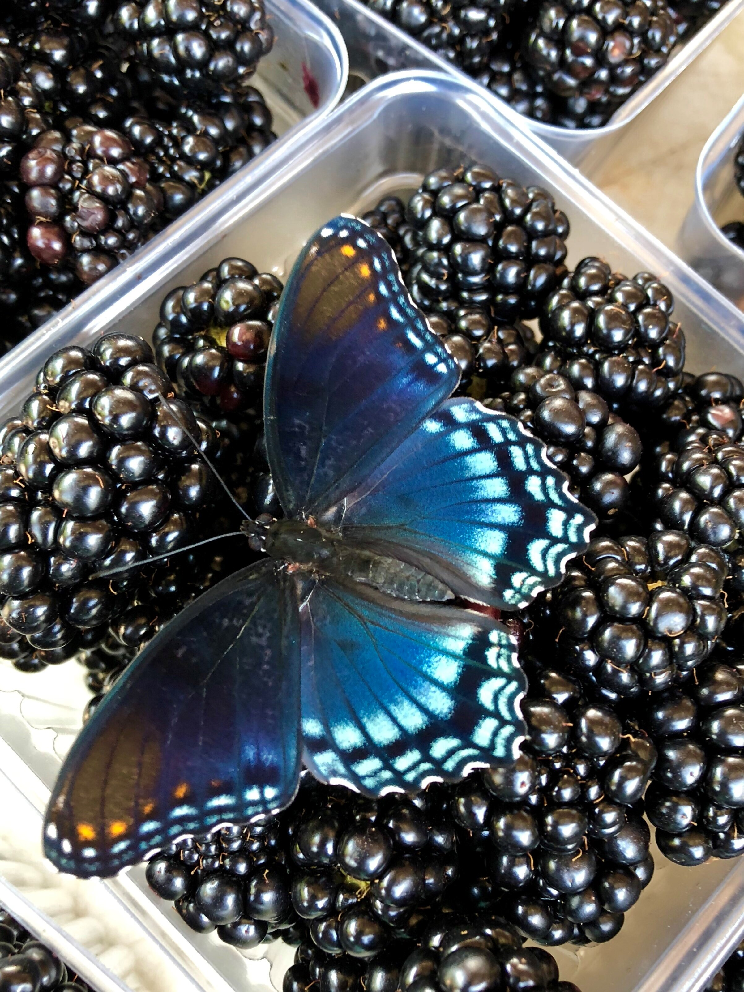 Butterfly at Farmers Market in North Carolina