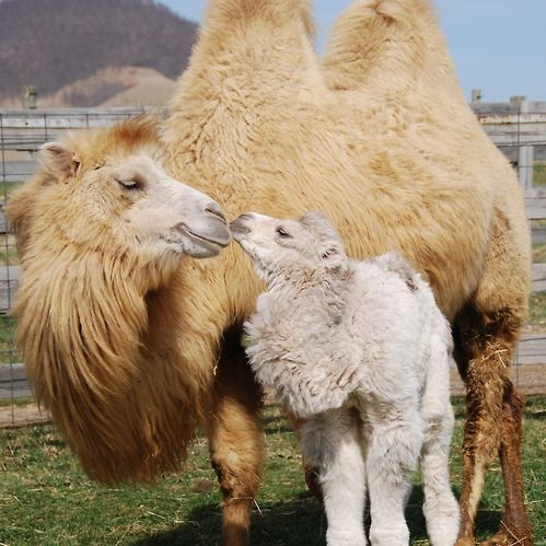 🐫 camel comforter
