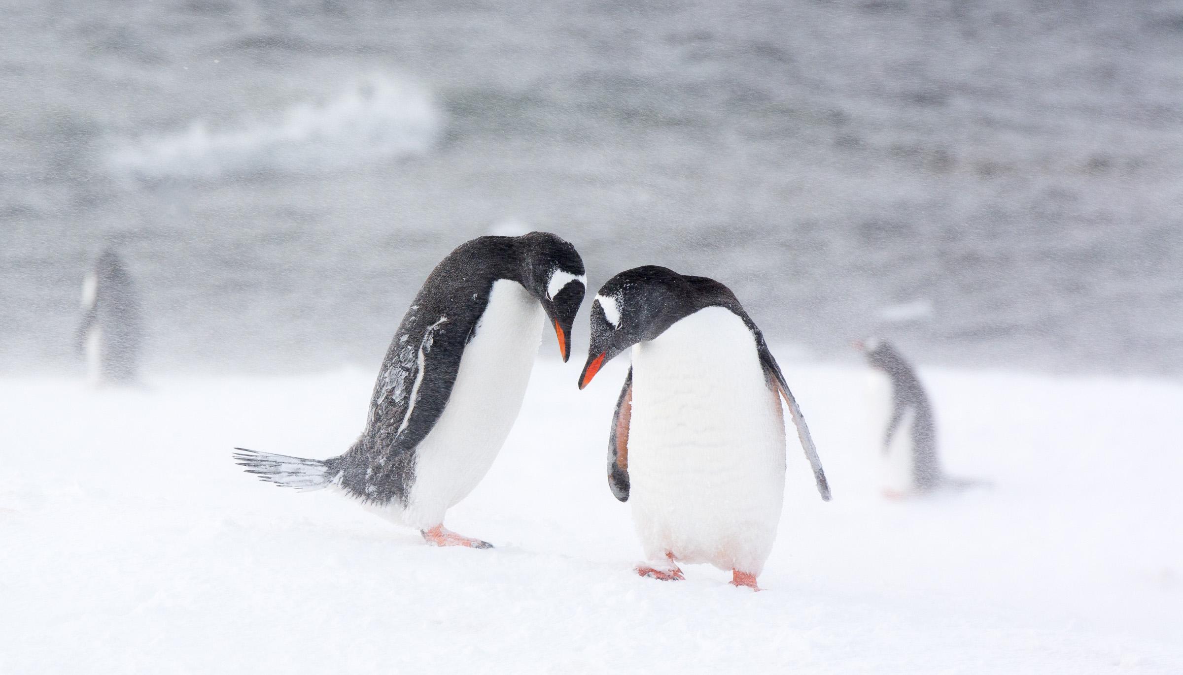 Penguins gonna cute