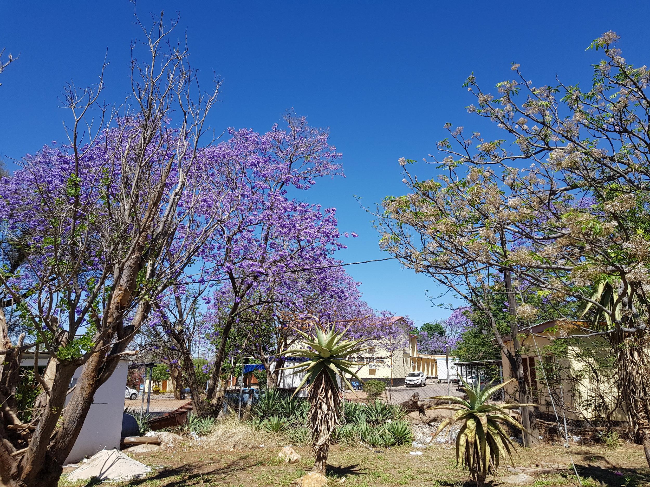 Jacaranda bloom Gabs 2017.jpg