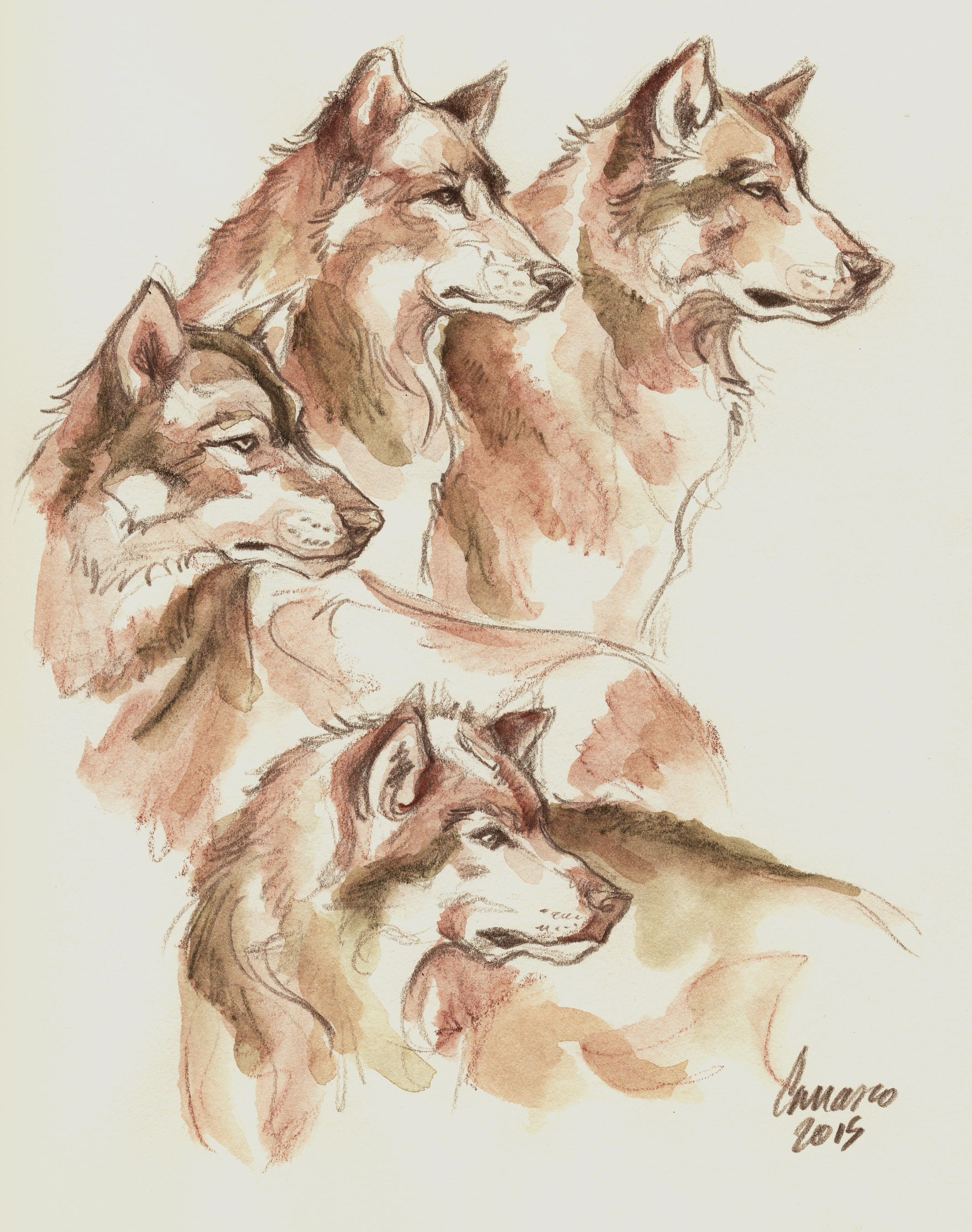 Drawn to Wolves... Drawing in progress   Video HERE