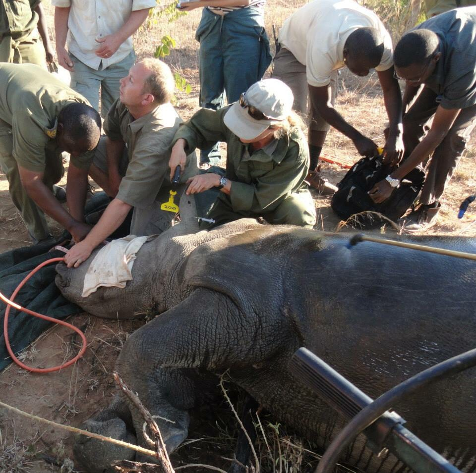 Rhino work in the wilds of Africa.