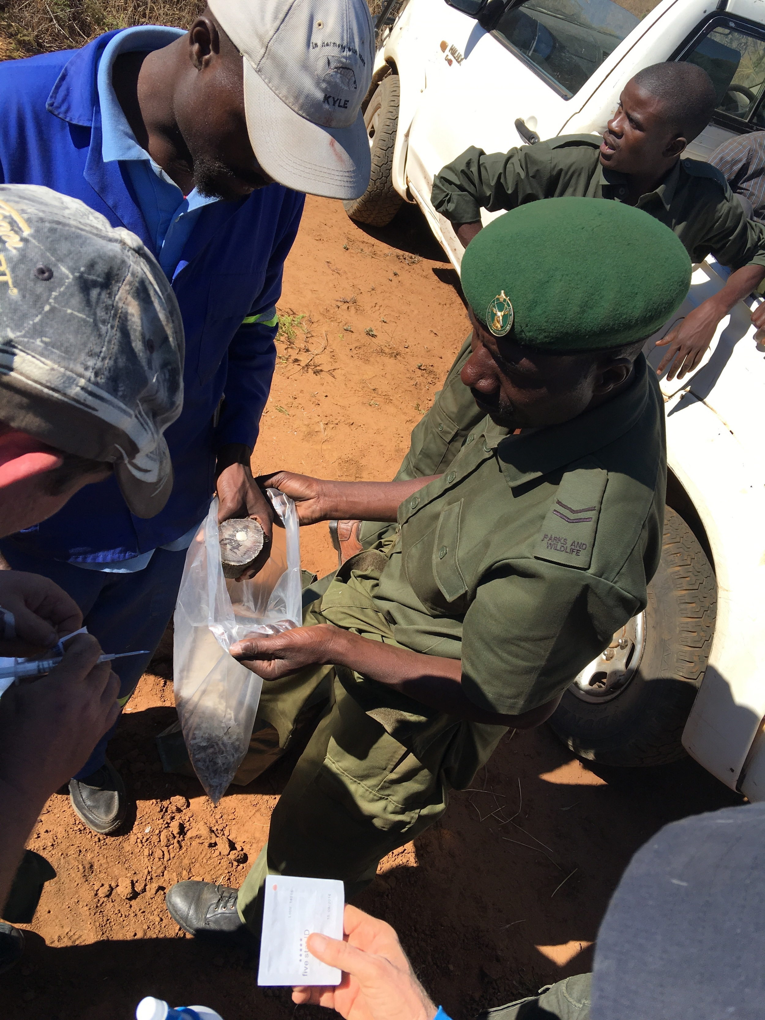 The rhino horns are numbererd ,microchipped ,scanned and handed over to the authorities.