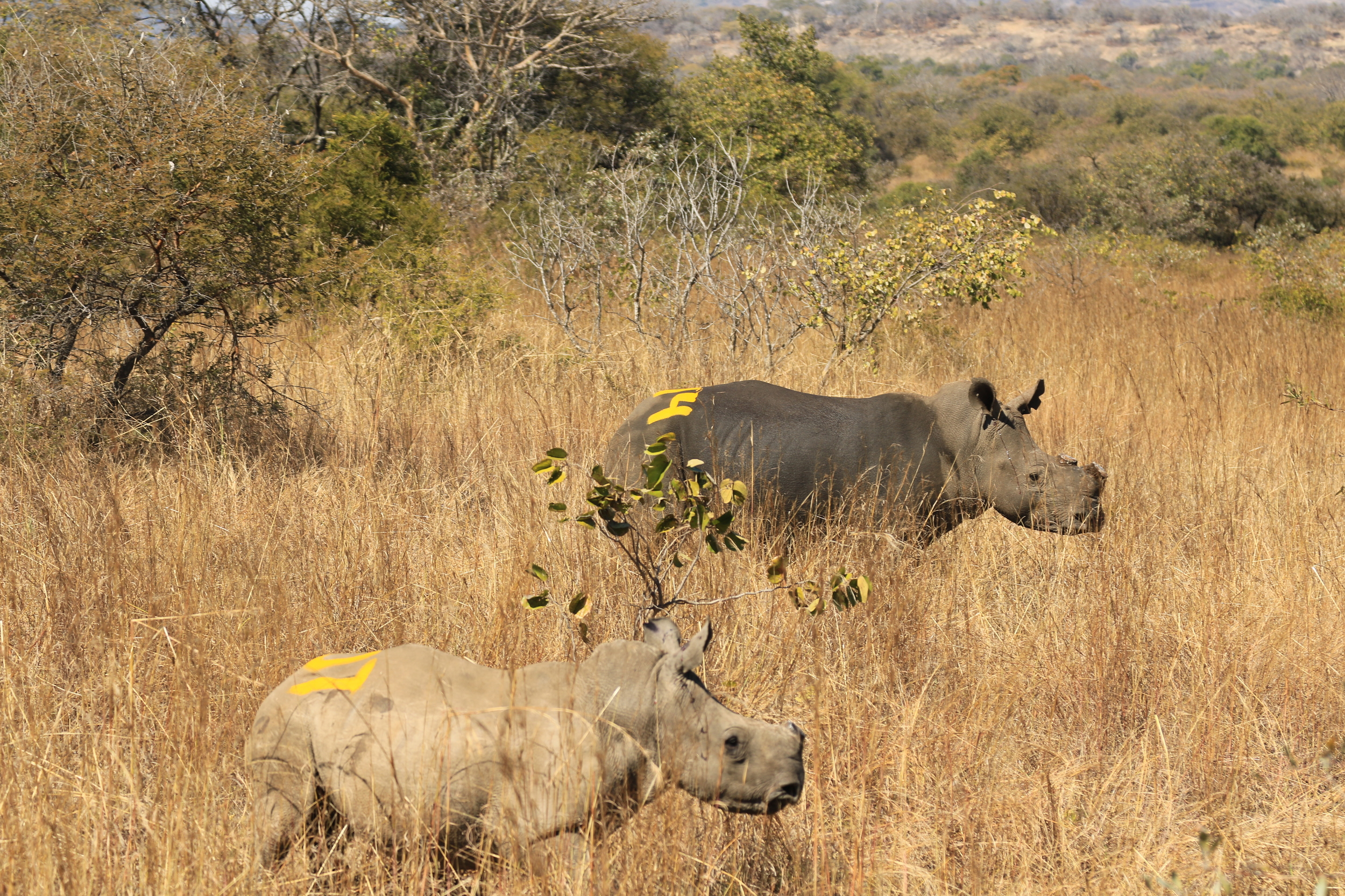 Dehorned baby rhino and his mother