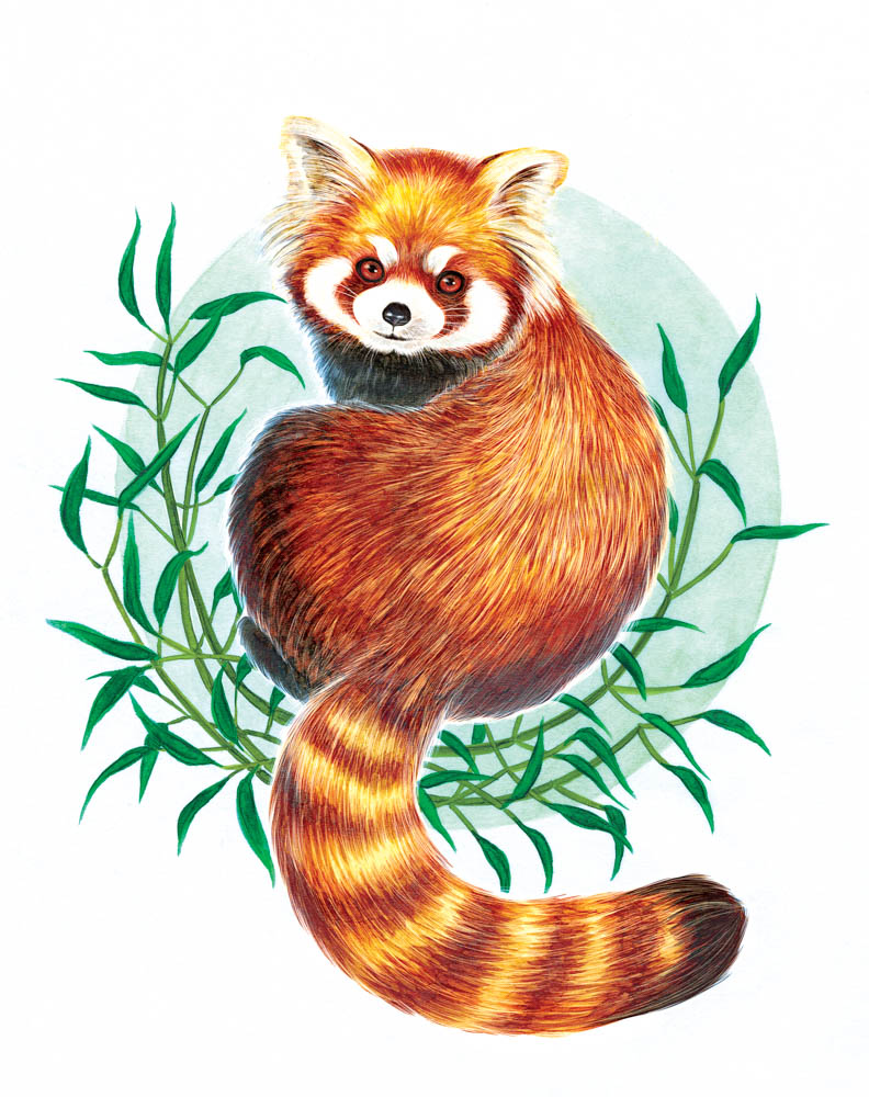 """""""Red Panda"""" by Alisa Caves (Copic marker, white color pencil and digital)"""