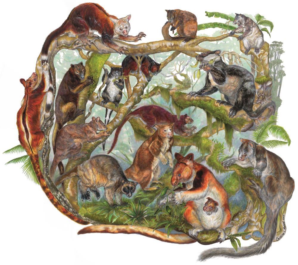 """Tree Kangaroo Kaleidoscope"" by  Christina Marent  (Copic markers)"