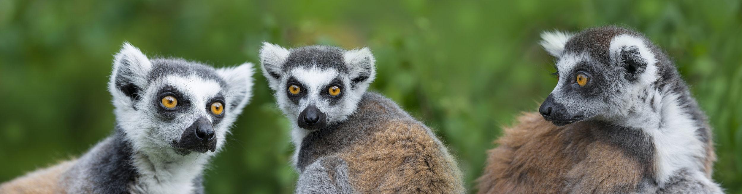 ring - tailed lemur (Lemur catta)