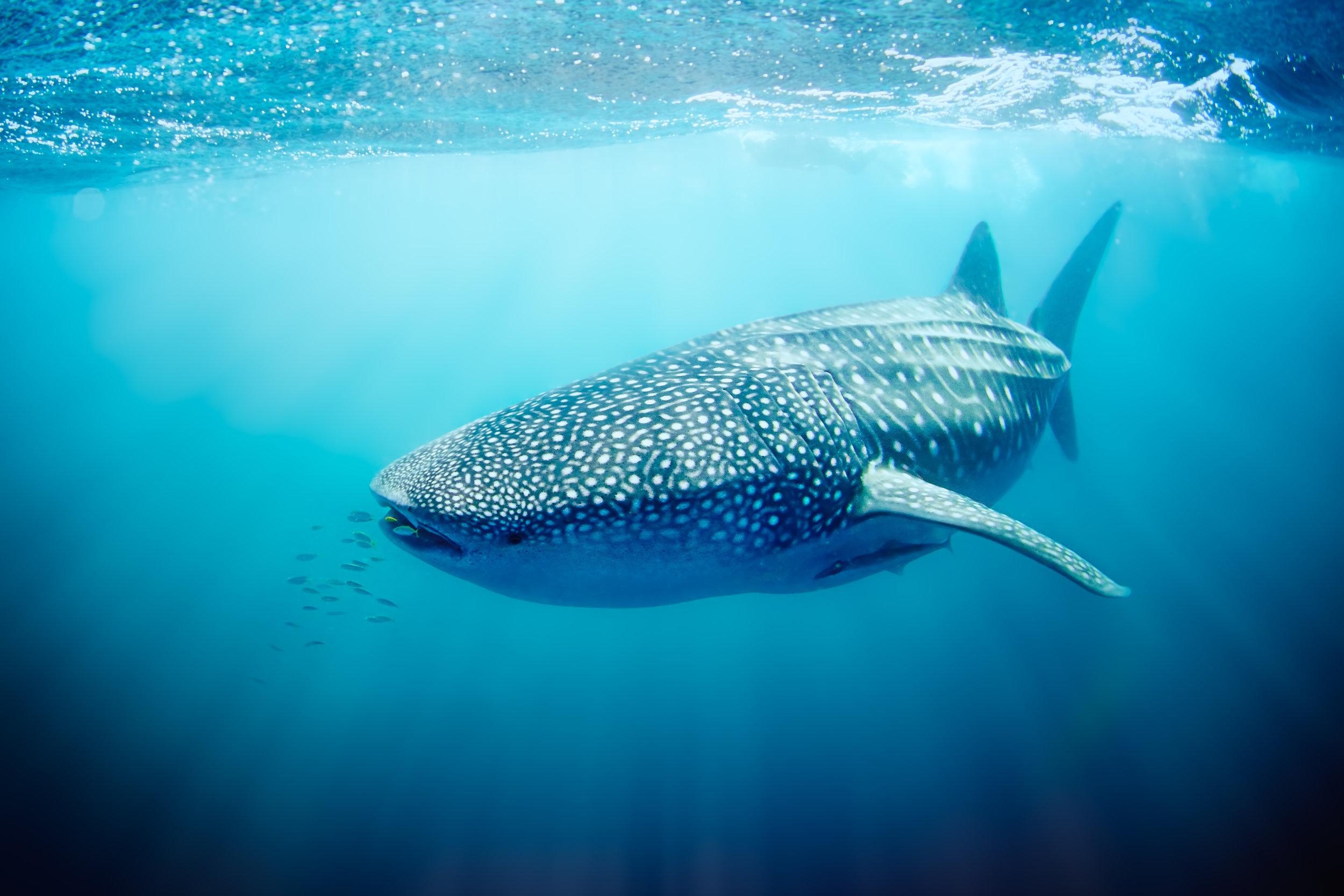 Whale shark swimming on the Ningaloo Reef, Western Australia